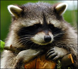Bloomingdale raccoon removal